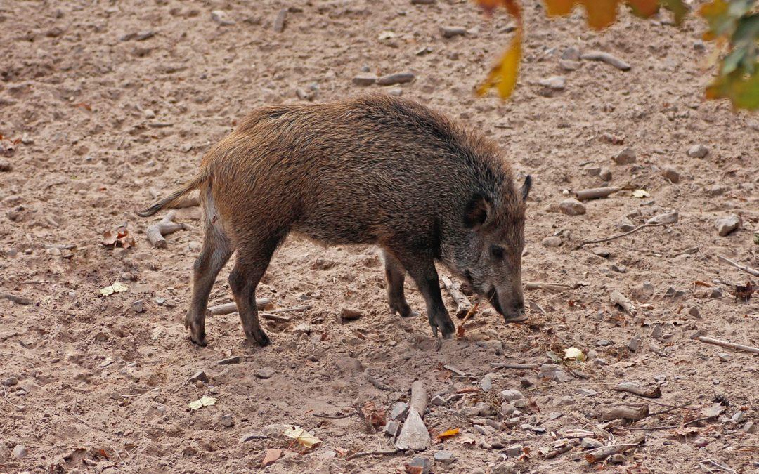 Die Schweinepest & Wildschweine