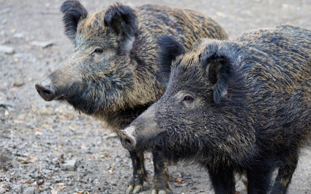 Afrikanische Schweinepest (ASP) – Ausweitung einer erhöhten Aufwandsentschädigung für das Erlegen von Schwarzwild